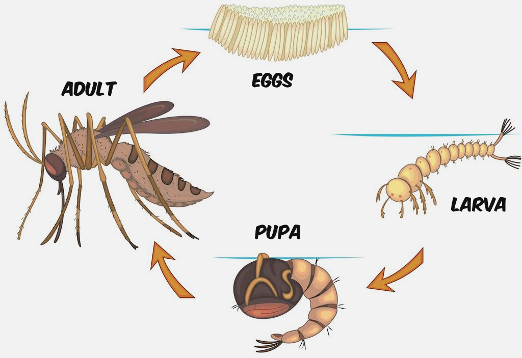 mosquito-lifecycle